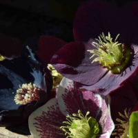 Gardening Guru Tip of the Week – Hellebores