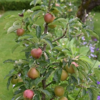 Apples in the Garden (part 2 of 2)