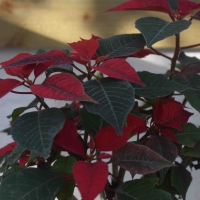 Christmas Pot Plants (part 2 of 2)