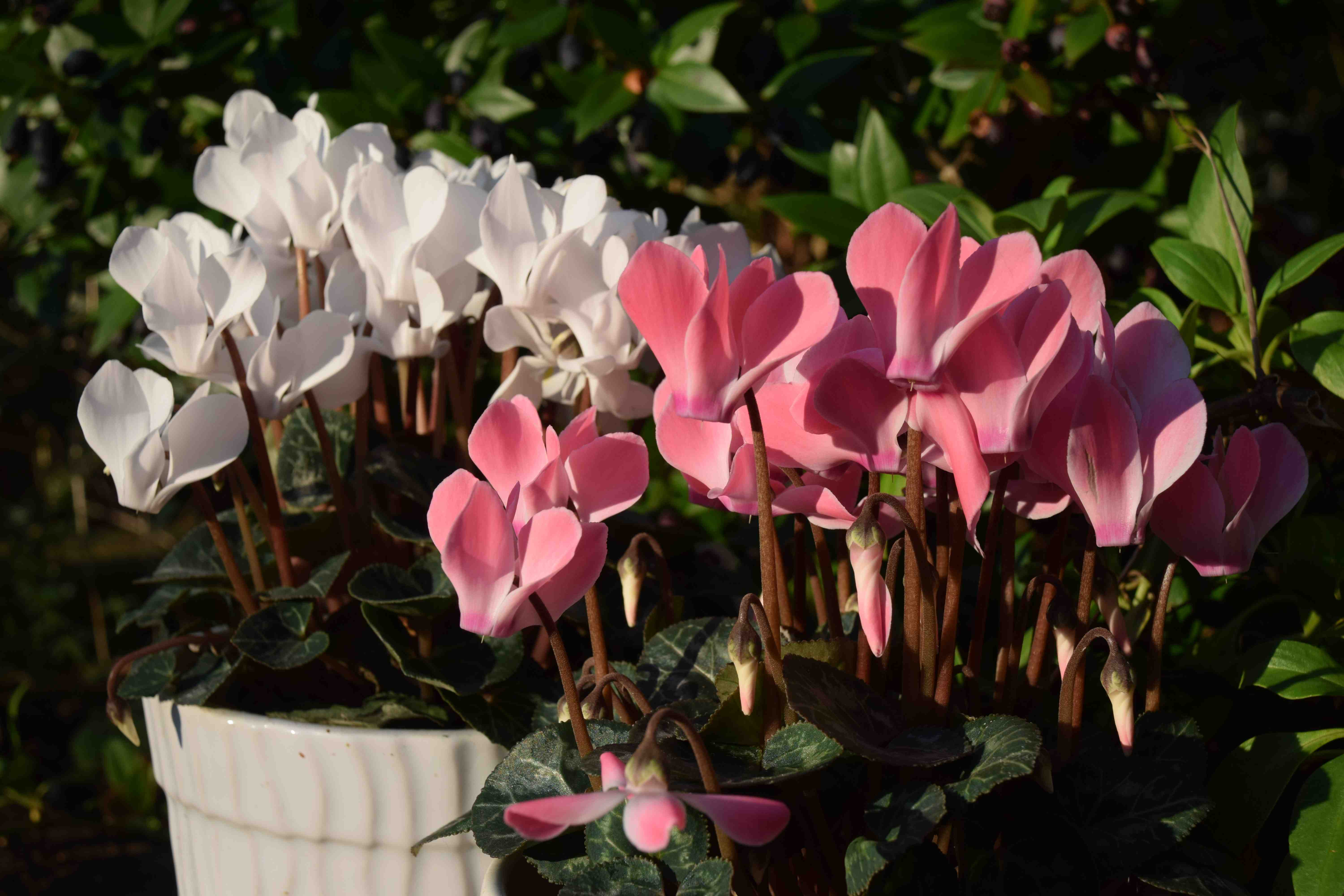 Unless You Live In A Cave Will Probably Give Or Receive Plant At Christmas And The Chances Are It Be Poinsettia Cyclamen