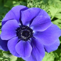 Anemones for everyone (part 2 of 2)