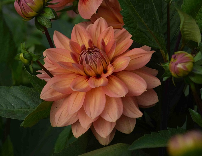 Dahlias – the star of the summer (part 1 of 2)