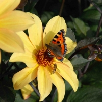 Dahlias – star of the summer (part 2 of 2)