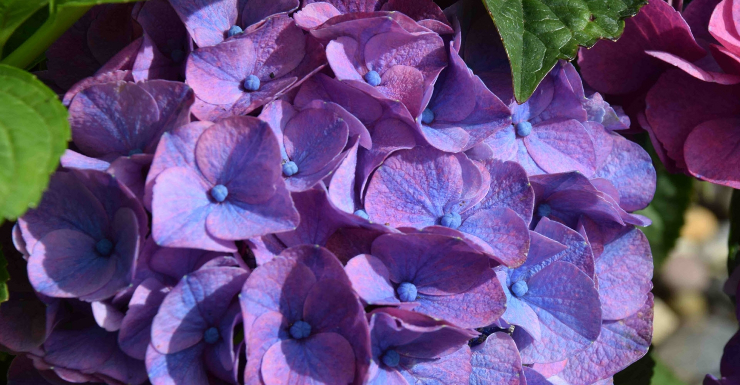 Pruning Hydrangeas (part 1 of 2)